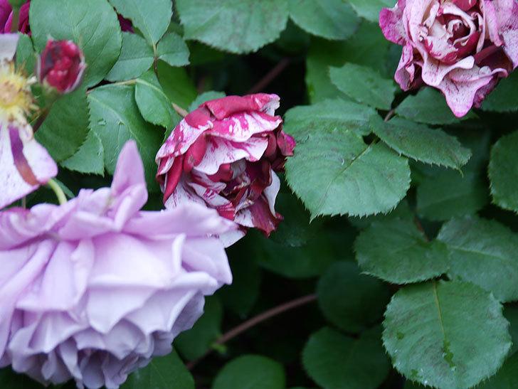 ニュー・イマジン(New Imagine)の花が増えてきた。半ツルバラ。2021年-076.jpg