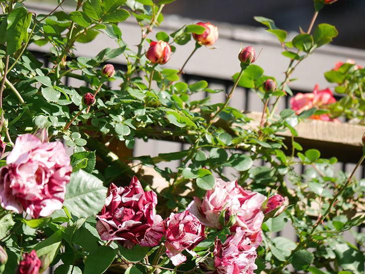 ニュー・イマジン(New Imagine)の花が増えてきた。半ツルバラ。2021年-077.jpg