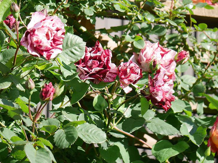 ニュー・イマジン(New Imagine)の花が増えてきた。半ツルバラ。2021年-078.jpg