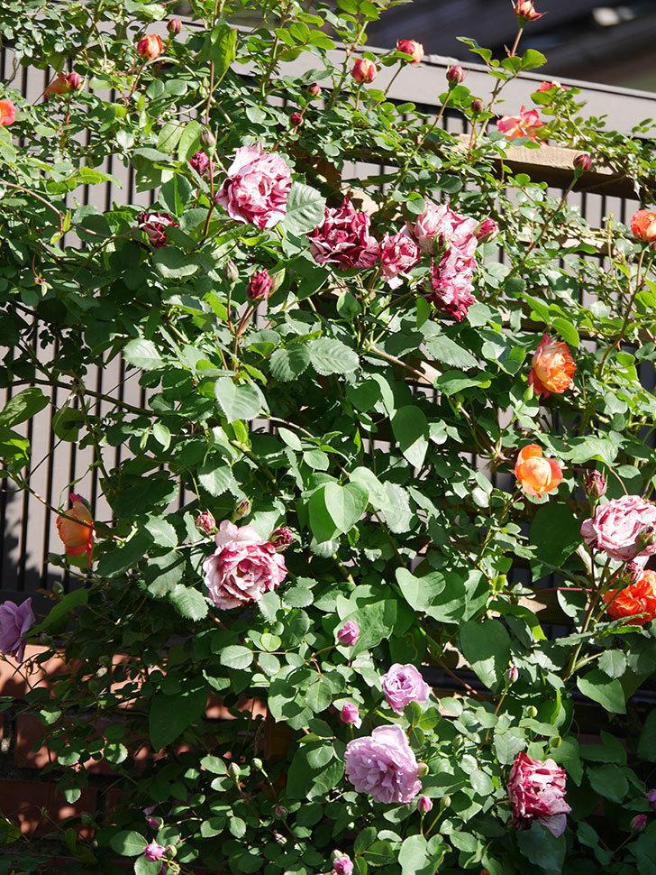 ニュー・イマジン(New Imagine)の花が増えてきた。半ツルバラ。2021年-080.jpg