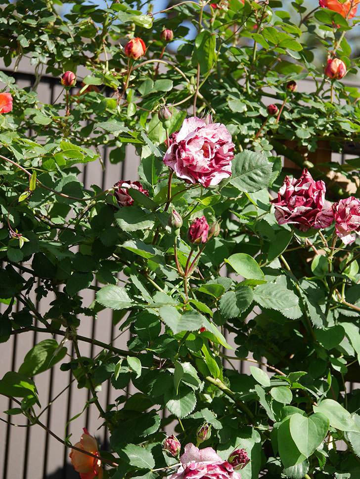 ニュー・イマジン(New Imagine)の花が増えてきた。半ツルバラ。2021年-081.jpg