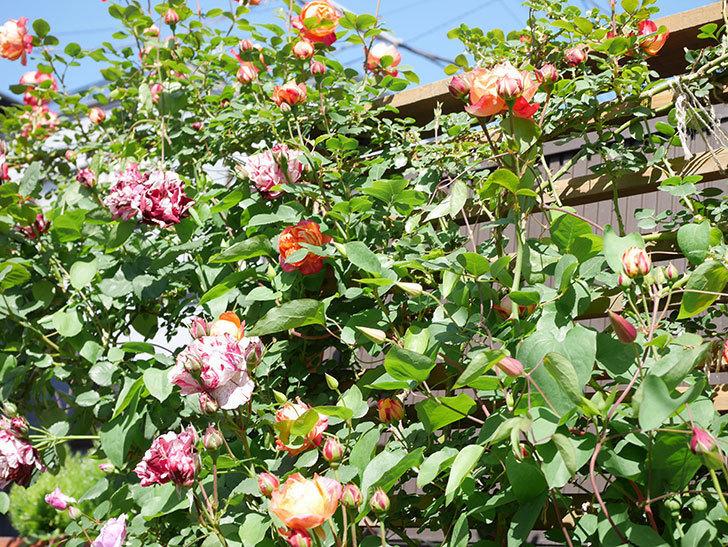 ニュー・イマジン(New Imagine)の花が増えてきた。半ツルバラ。2021年-082.jpg