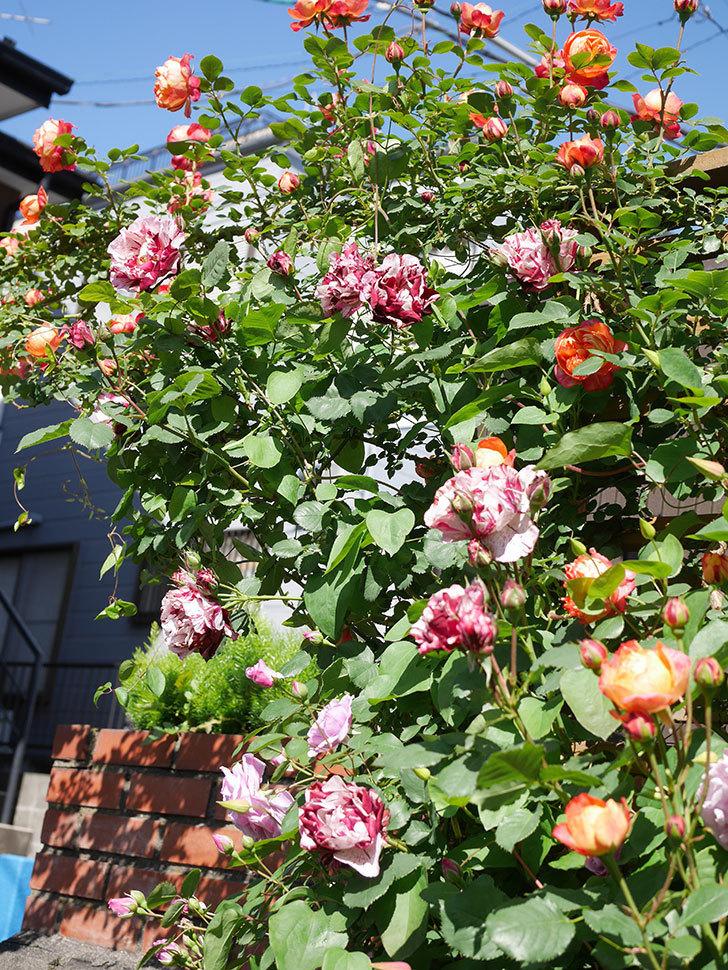 ニュー・イマジン(New Imagine)の花が増えてきた。半ツルバラ。2021年-083.jpg
