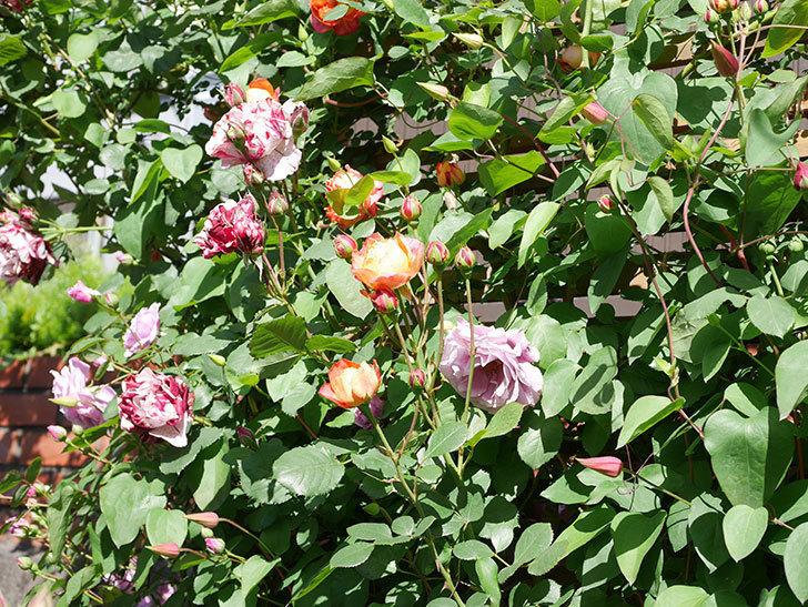 ニュー・イマジン(New Imagine)の花が増えてきた。半ツルバラ。2021年-085.jpg