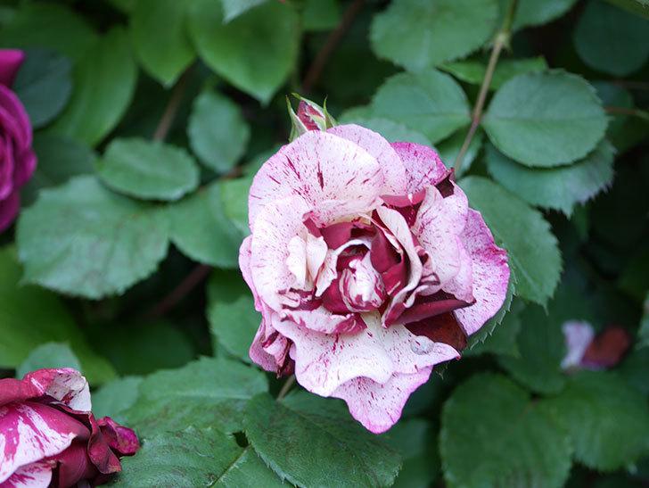 ニュー・イマジン(New Imagine)の花が増えてきた。半ツルバラ。2021年-087.jpg