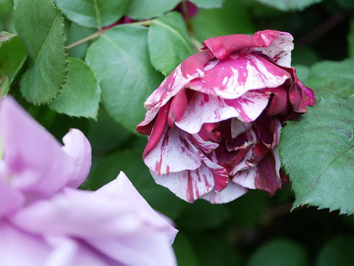 ニュー・イマジン(New Imagine)の花が増えてきた。半ツルバラ。2021年-088.jpg