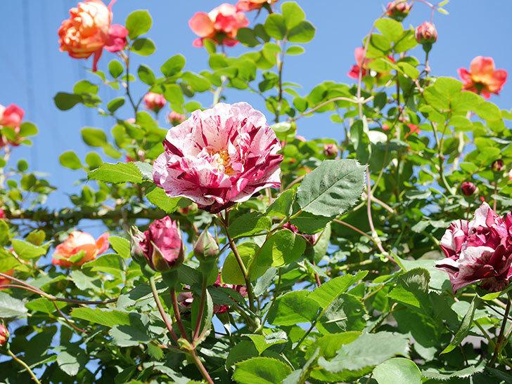 ニュー・イマジン(New Imagine)の花が増えてきた。半ツルバラ。2021年-091.jpg