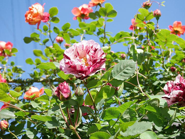 ニュー・イマジン(New Imagine)の花が増えてきた。半ツルバラ。2021年-092.jpg