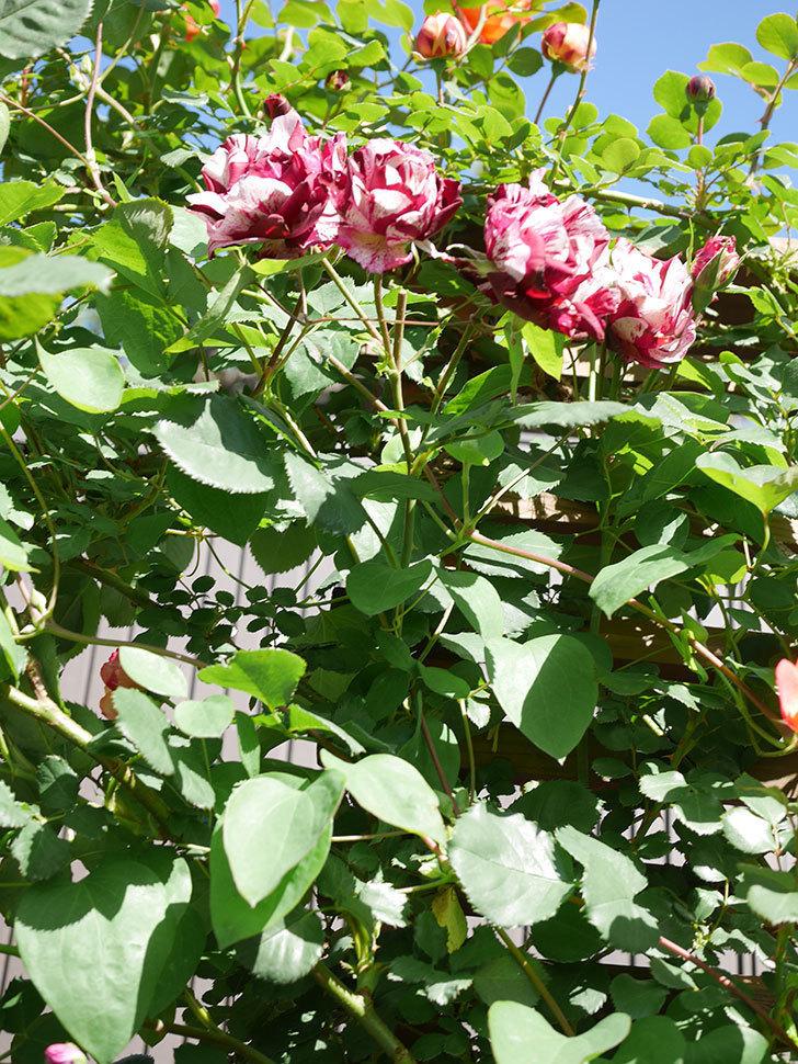 ニュー・イマジン(New Imagine)の花が増えてきた。半ツルバラ。2021年-093.jpg