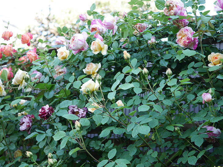 ニュー・イマジン(New Imagine)の花が増えてきた。半ツルバラ。2021年-099.jpg