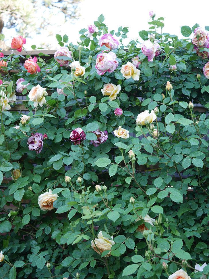 ニュー・イマジン(New Imagine)の花が増えてきた。半ツルバラ。2021年-100.jpg