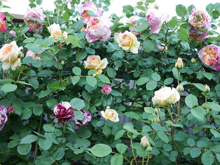 ニュー・イマジン(New Imagine)の花が増えてきた。半ツルバラ。2021年-101.jpg