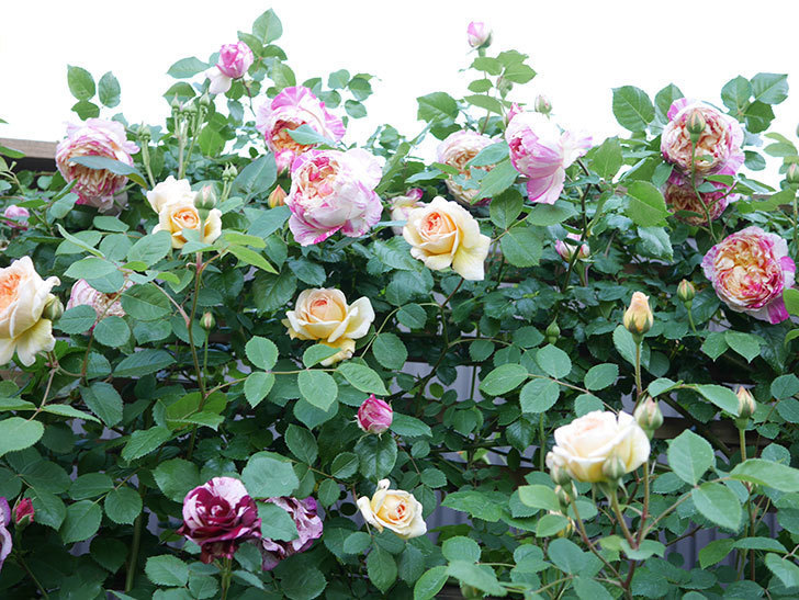 ニュー・イマジン(New Imagine)の花が増えてきた。半ツルバラ。2021年-102.jpg