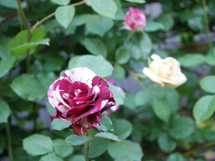 ニュー・イマジン(New Imagine)の花が増えてきた。半ツルバラ。2021年-103.jpg
