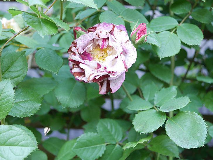 ニュー・イマジン(New Imagine)の花が増えてきた。半ツルバラ。2021年-104.jpg