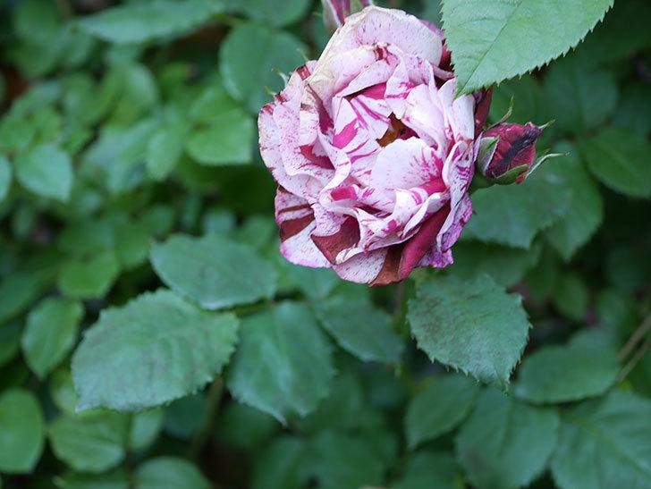 ニュー・イマジン(New Imagine)の花が増えてきた。半ツルバラ。2021年-105.jpg