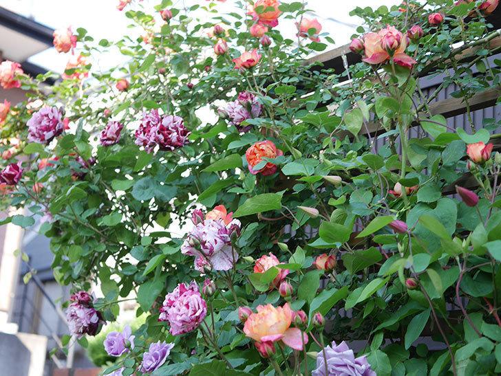 ニュー・イマジン(New Imagine)の花が増えてきた。半ツルバラ。2021年-110.jpg