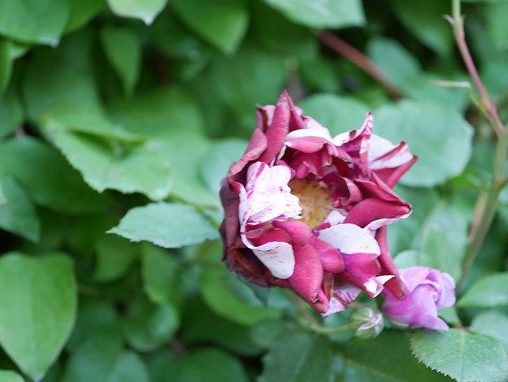 ニュー・イマジン(New Imagine)の花が増えてきた。半ツルバラ。2021年-114.jpg