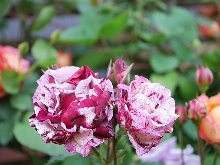 ニュー・イマジン(New Imagine)の花が増えてきた。半ツルバラ。2021年-115.jpg