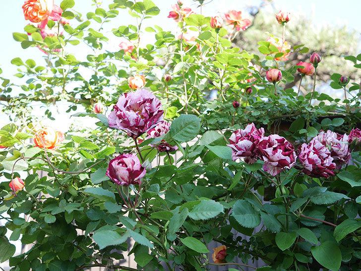 ニュー・イマジン(New Imagine)の花が増えてきた。半ツルバラ。2021年-117.jpg
