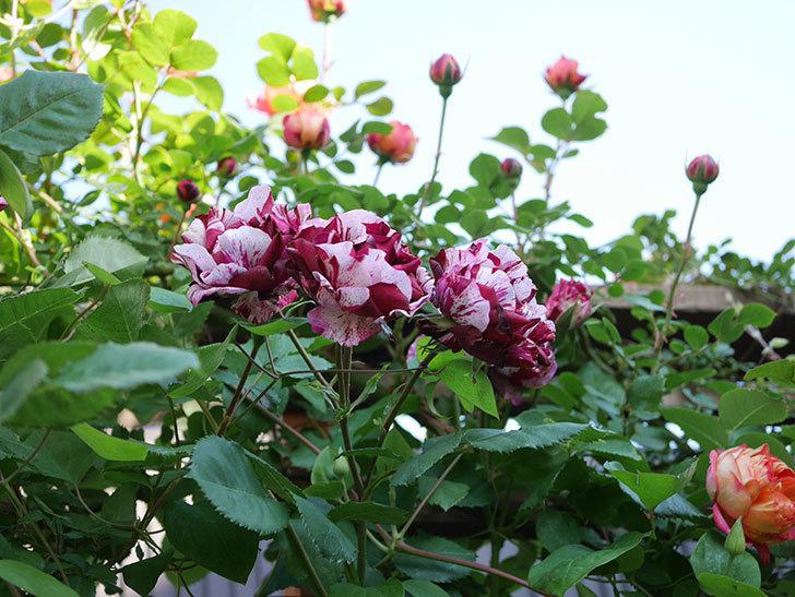 ニュー・イマジン(New Imagine)の花が増えてきた。半ツルバラ。2021年-118.jpg