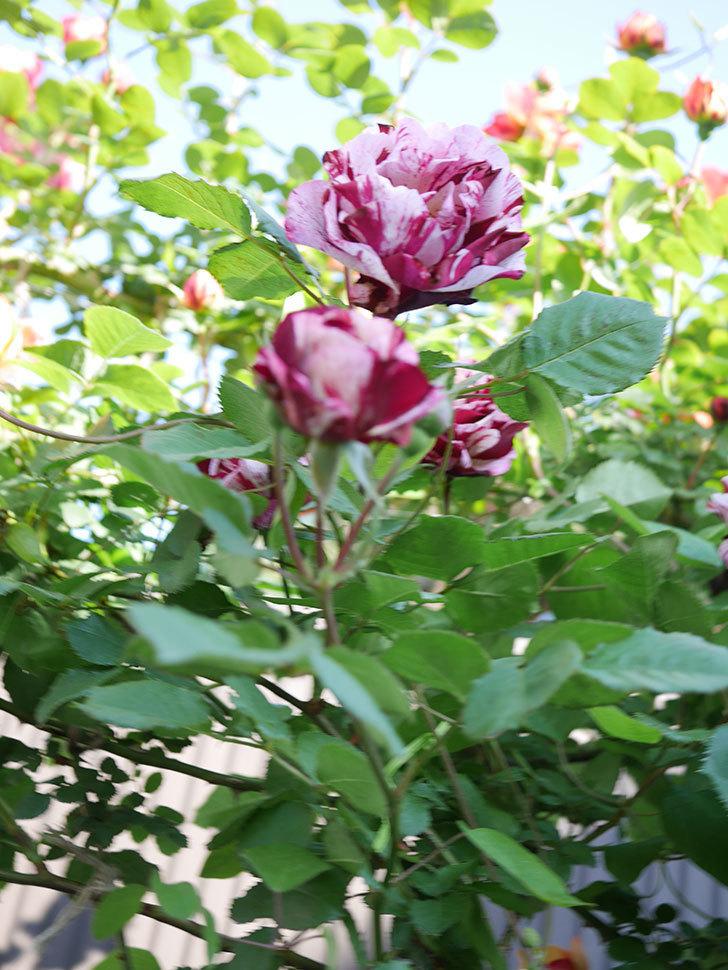 ニュー・イマジン(New Imagine)の花が増えてきた。半ツルバラ。2021年-119.jpg
