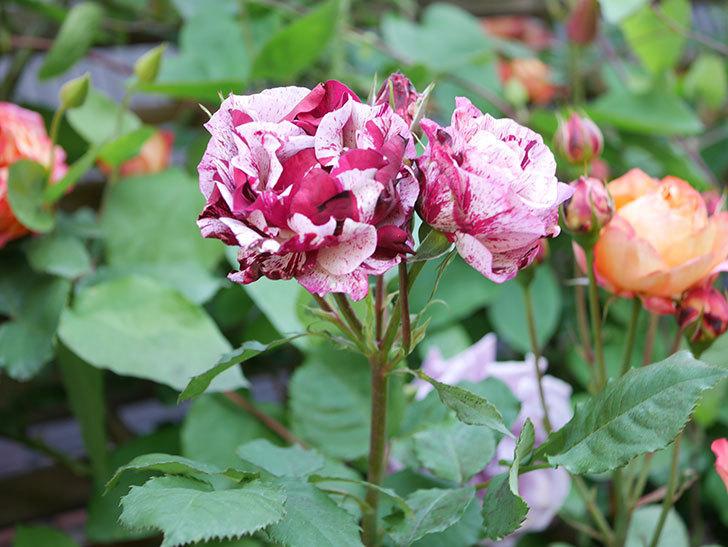 ニュー・イマジン(New Imagine)の花が増えてきた。半ツルバラ。2021年-120.jpg