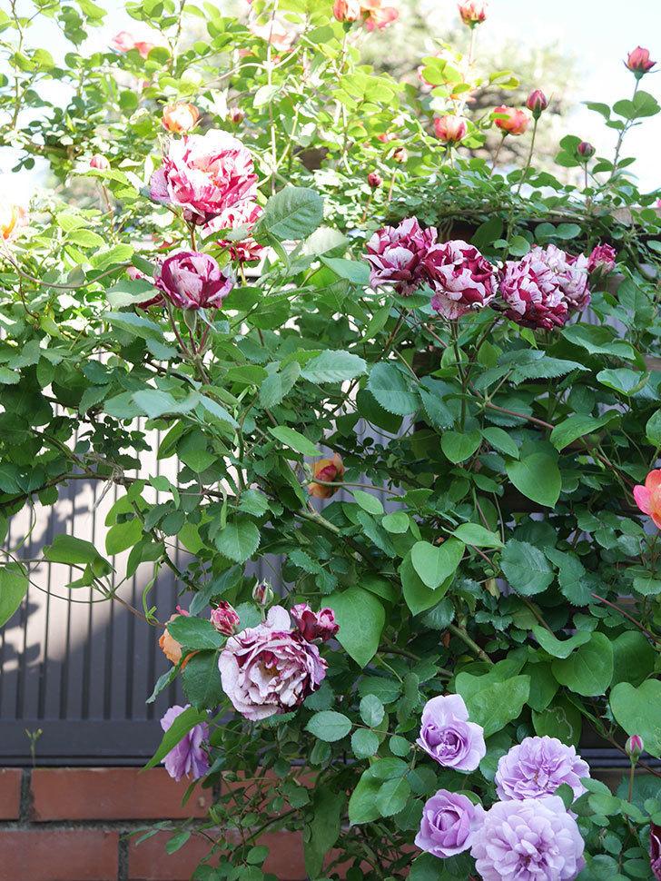 ニュー・イマジン(New Imagine)の花が増えてきた。半ツルバラ。2021年-121.jpg