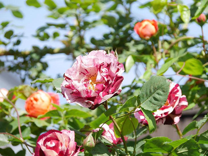 ニュー・イマジン(New Imagine)の花が増えてきた。半ツルバラ。2021年-127.jpg