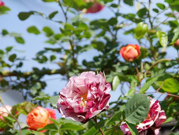 ニュー・イマジン(New Imagine)の花が増えてきた。半ツルバラ。2021年-128.jpg