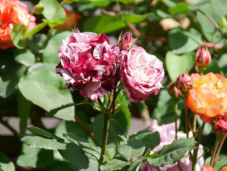 ニュー・イマジン(New Imagine)の花が増えてきた。半ツルバラ。2021年-132.jpg