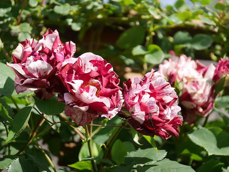 ニュー・イマジン(New Imagine)の花が増えてきた。半ツルバラ。2021年-135.jpg