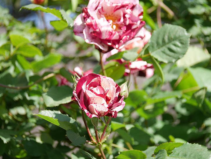 ニュー・イマジン(New Imagine)の花が増えてきた。半ツルバラ。2021年-136.jpg