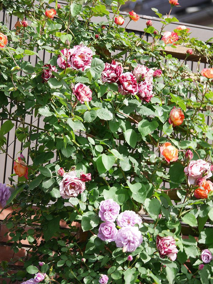 ニュー・イマジン(New Imagine)の花が増えてきた。半ツルバラ。2021年-139.jpg