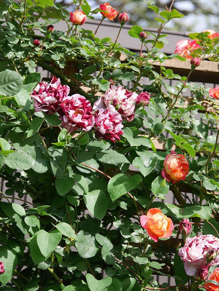 ニュー・イマジン(New Imagine)の花が増えてきた。半ツルバラ。2021年-140.jpg