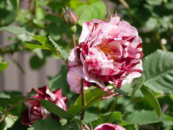 ニュー・イマジン(New Imagine)の花が増えてきた。半ツルバラ。2021年-141.jpg