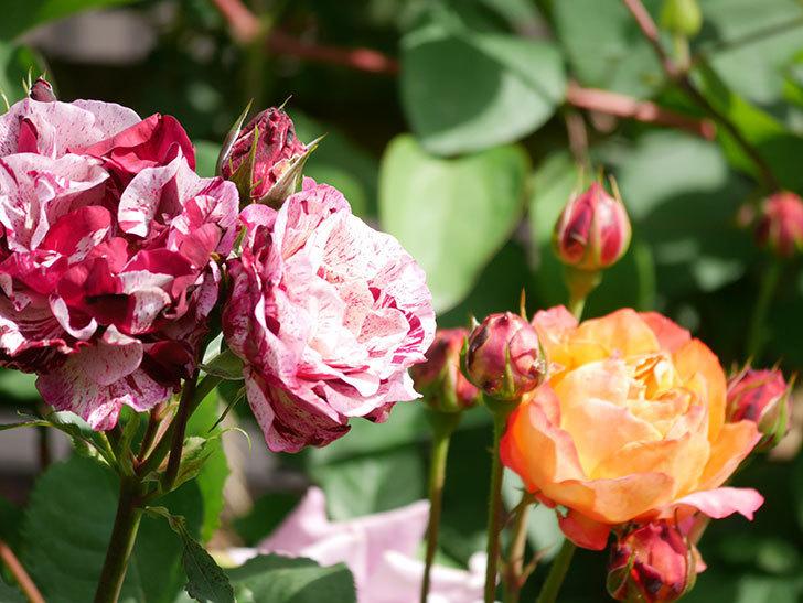 ニュー・イマジン(New Imagine)の花が増えてきた。半ツルバラ。2021年-143.jpg