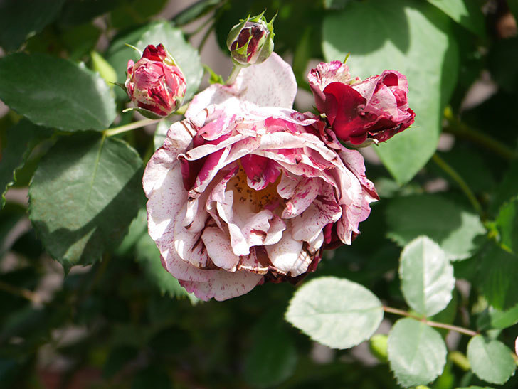 ニュー・イマジン(New Imagine)の花が増えてきた。半ツルバラ。2021年-145.jpg