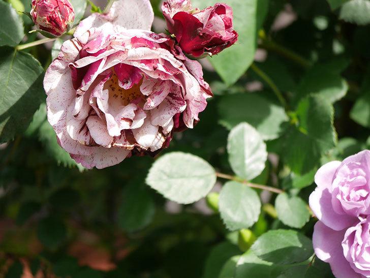 ニュー・イマジン(New Imagine)の花が増えてきた。半ツルバラ。2021年-146.jpg