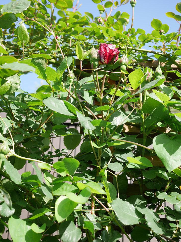 ニュー・イマジン(New Imagine)の花が少し咲いた。半ツルバラ。2021年-003.jpg
