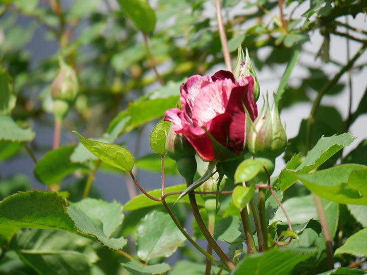 ニュー・イマジン(New Imagine)の花が少し咲いた。半ツルバラ。2021年-004.jpg