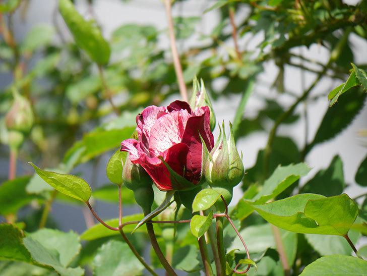 ニュー・イマジン(New Imagine)の花が少し咲いた。半ツルバラ。2021年-005.jpg