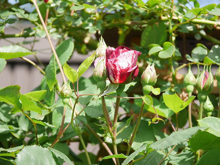 ニュー・イマジン(New Imagine)の花が少し咲いた。半ツルバラ。2021年-006.jpg