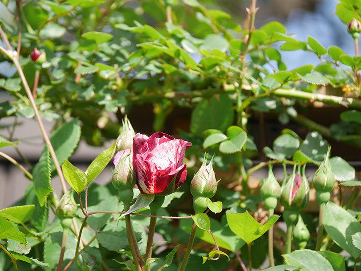 ニュー・イマジン(New Imagine)の花が少し咲いた。半ツルバラ。2021年-007.jpg