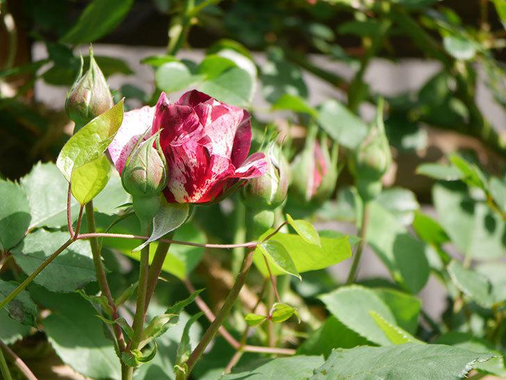 ニュー・イマジン(New Imagine)の花が少し咲いた。半ツルバラ。2021年-011.jpg
