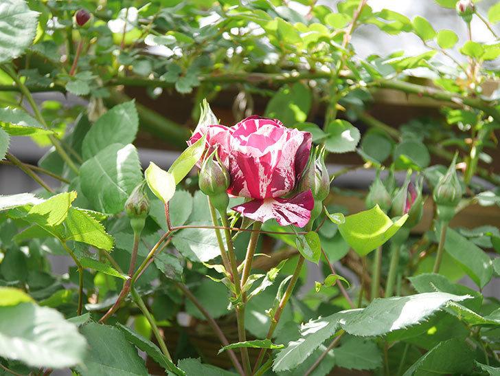 ニュー・イマジン(New Imagine)の花が少し咲いた。半ツルバラ。2021年-012.jpg