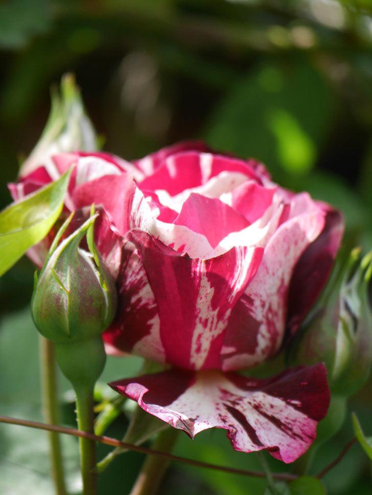 ニュー・イマジン(New Imagine)の花が少し咲いた。半ツルバラ。2021年-016.jpg
