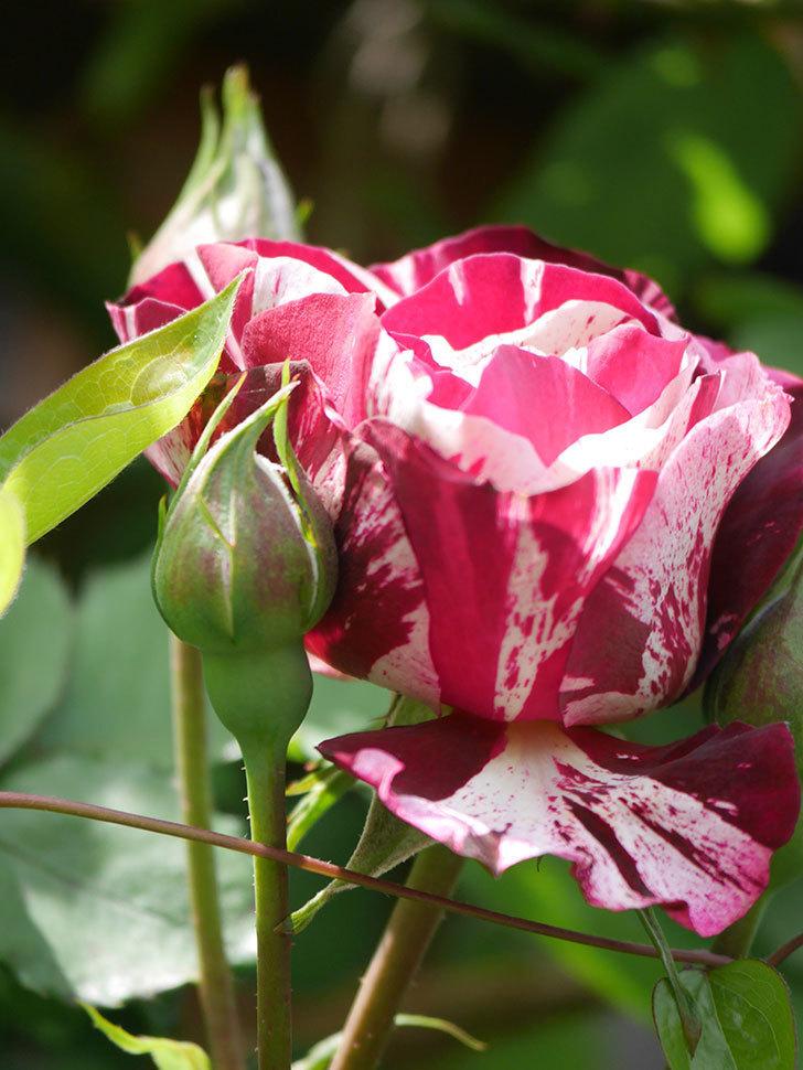 ニュー・イマジン(New Imagine)の花が少し咲いた。半ツルバラ。2021年-017.jpg
