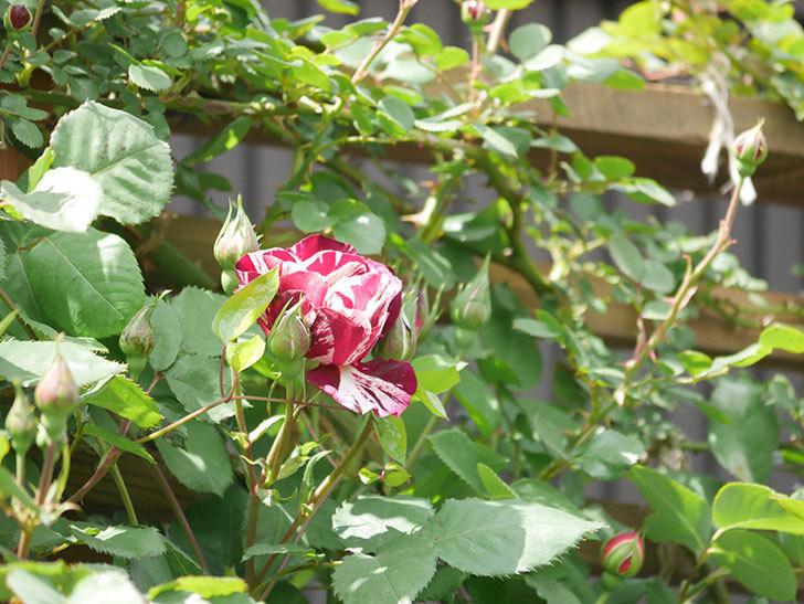 ニュー・イマジン(New Imagine)の花が少し咲いた。半ツルバラ。2021年-018.jpg