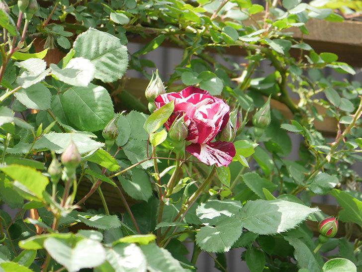 ニュー・イマジン(New Imagine)の花が少し咲いた。半ツルバラ。2021年-019.jpg
